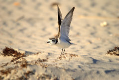 Snowy plover stretching Royalty Free Stock Photo