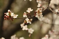 Snowy plum blossom Stock Photo
