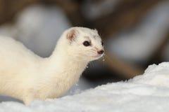 Snowy portrait of Least Weasel in winter Stock Photos
