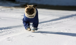 Snowy pug. Running pug with clothing at winter time Stock Photography