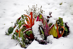 Snowy red swiss chard. Red mangel in the snow stock images