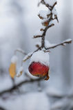 Snowy red winter apple royalty free stock photography