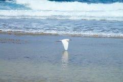 Snowy-Reiher, der das Ufer gleitet lizenzfreies stockfoto