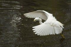 Snowy-Reiher, der niedrig über Teich in den Florida-Sumpfgebieten fliegt Lizenzfreies Stockfoto