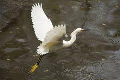 Snowy-Reiher, der niedrig über Teich in den Florida-Sumpfgebieten fliegt Stockfotografie