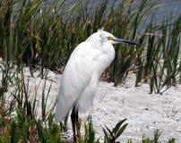 Snowy-Reiher (Egretta thula) Lizenzfreies Stockbild
