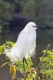 Snowy-Reiher (Egretta thula) Lizenzfreies Stockfoto
