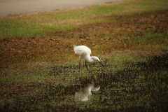 Snowy-Reiher (Egretta thula) Lizenzfreie Stockbilder