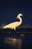 Snowy-Reiher, Egretta thula, im Küstenlebensraum Reiher mit Sonnenaufgang der Sonne morgens Vogel mit dem dunkelblauen Meer Reihe Lizenzfreies Stockbild