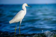 Snowy-Reiher gegen das karibische Meer Lizenzfreies Stockbild