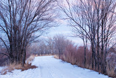 Snowy Road Flanked with Purple Stems Royalty Free Stock Photo