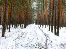 Snowy Road in Forest. Snowy Road in lithuanian Winter Pine Forest Stock Photos