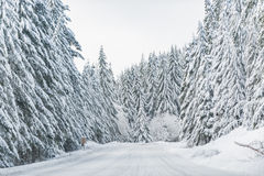 Snowy road near wood in United States. Route situating between tall fluffy scotch firs in winter in Oregon stock image