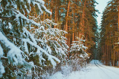 Snowy road in winter pine forest Stock Photo