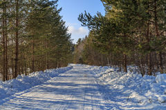 Snowy road through a young pine forest. Sunny winter day Royalty Free Stock Images