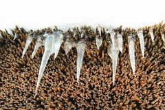 Icicles hanging from thatched roof Royalty Free Stock Photo