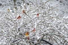 Snowy rose bush full of songbirds. Songbirds sit in a snowy bush Royalty Free Stock Photos
