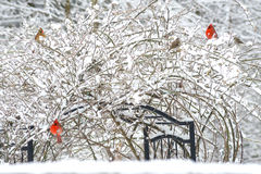 Snowy rose bush full of songbirds. Rose trellis full of Cardinals in the snow Royalty Free Stock Photo