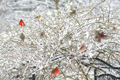 Snowy rose bush full of songbirds. Rose trellis full of Cardinals in the snow Stock Photography
