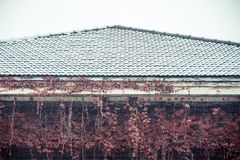 Snowy-Rotrebe Lizenzfreies Stockfoto