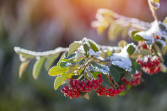 Snowy rowan berries Royalty Free Stock Images