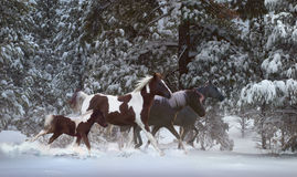 Snowy Runners. Three majestic horses with a pinto colt gallop through a winter wonder land after a freshly fallen snow Stock Photography