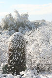Snowy Saguaro. Snow covering Saguaro cactus and desert foliage Royalty Free Stock Images