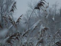 Snowy-Schilfe stockbilder