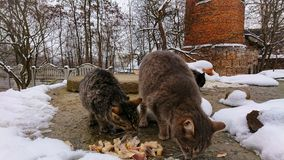In the snowy season, homeless cats eat bits of fish royalty free stock images