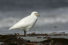 Snowy sheatbill, Chionis alba Stock Photos