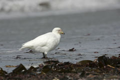 Snowy sheatbill, Chionis alba Royalty Free Stock Photos