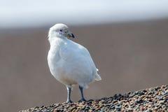 Free Snowy Sheatbill Paloma Antarctica White Bird Portrait Stock Image - 72932881