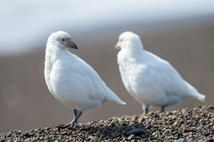 Free Snowy Sheatbill Paloma Antarctica White Bird Portrait Royalty Free Stock Photos - 72934048