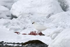 Snowy sheathbill (Chionis albus). Feeding on the remains of a penguin Royalty Free Stock Photography