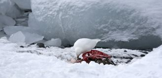 Snowy sheathbill (Chionis albus) Royalty Free Stock Photography