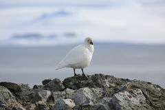 Snowy Sheathbill on a rock in Antarctica. Snowy Sheathbill (Chionis albus) in Antarctica, standing on the beach Royalty Free Stock Images