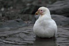 Snowy sheathbill showering, Antarctica Royalty Free Stock Image