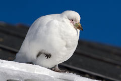 Snowy Sheathbill sitting on the roof of the Antarctic station tu Stock Image