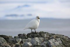 Snowy Sheathbill su una roccia in Antartide Immagini Stock Libere da Diritti