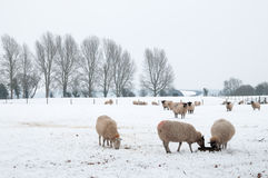 Snowy Sheep Stock Image
