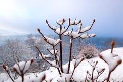 Snowy si ramifica con i germogli nell'orario invernale immagini stock