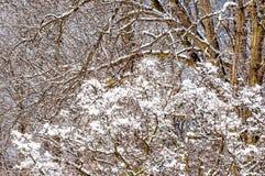 Snowy si ramifica fondo dell'inverno Immagini Stock Libere da Diritti