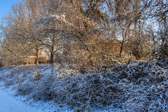 Snowy slope with bushes and trees in early morning Royalty Free Stock Photo