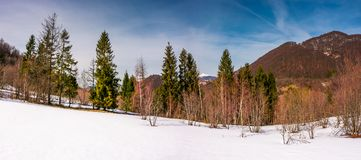 Snowy slope with forest in springtime. Lovely panorama of mountainous countryside Stock Photography