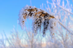 Snowy spike plants Royalty Free Stock Images