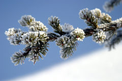 Free Snowy Sprig Royalty Free Stock Images - 4900549