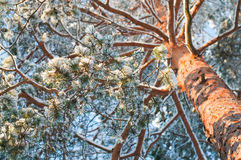 Snowy spruce Stock Images