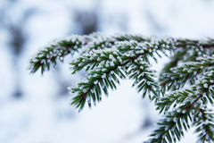 Snowy spruce brances on winter background Stock Photography