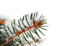 Snowy spruce branch Royalty Free Stock Photo