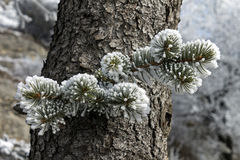 Snowy  spruce branch Royalty Free Stock Photography